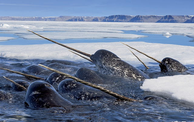 Narwhal 20