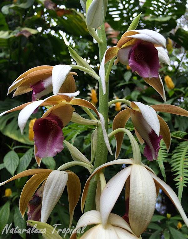 Racimo de flores de la orquídea de la Monja, Phaius tankervillae