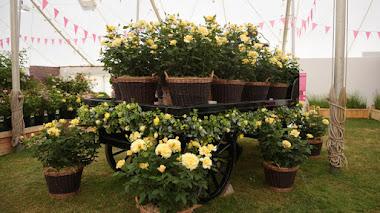 Las rosas en Hampton Court 2015. Rosa del año: Sunny Sky Rose 'Koraruli'