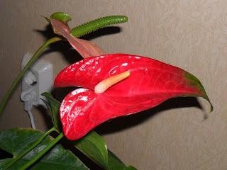Антуриумы цветут круглый год, 25 ноября
