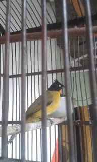 Burung Kutilang