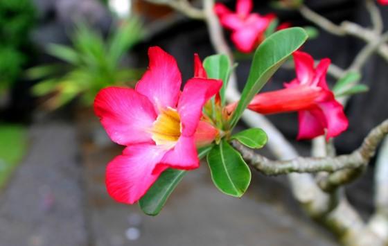 Bunga Kamboja Untuk Pengobatan Penyandang Autis