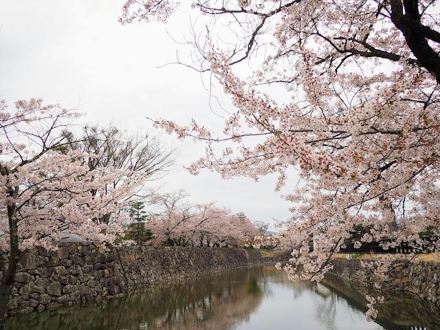 松本城 お堀 桜