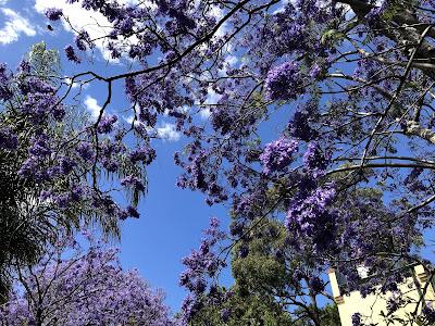 Jacaranda blossoms under blue sky in Woolloomooloo