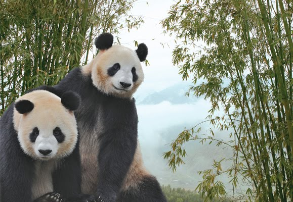Giant Pandas Jia Jia (嘉嘉 Jiā Jiā) and Kai Kai (凯凯 Kǎi Kǎi). The pair, who is on loan to Singapore to mark 20 years of diplomatic relations between the Singapore and China, will be spending a decade in their new home here.