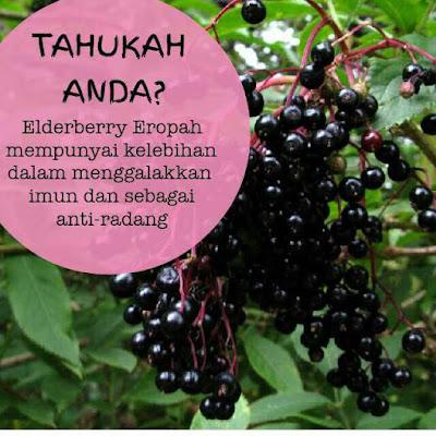 Manfaat Elderberry Untuk Kesihatan Yang Korang Perlu Tahu