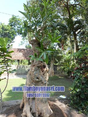 Bonsai Pohon Pule
