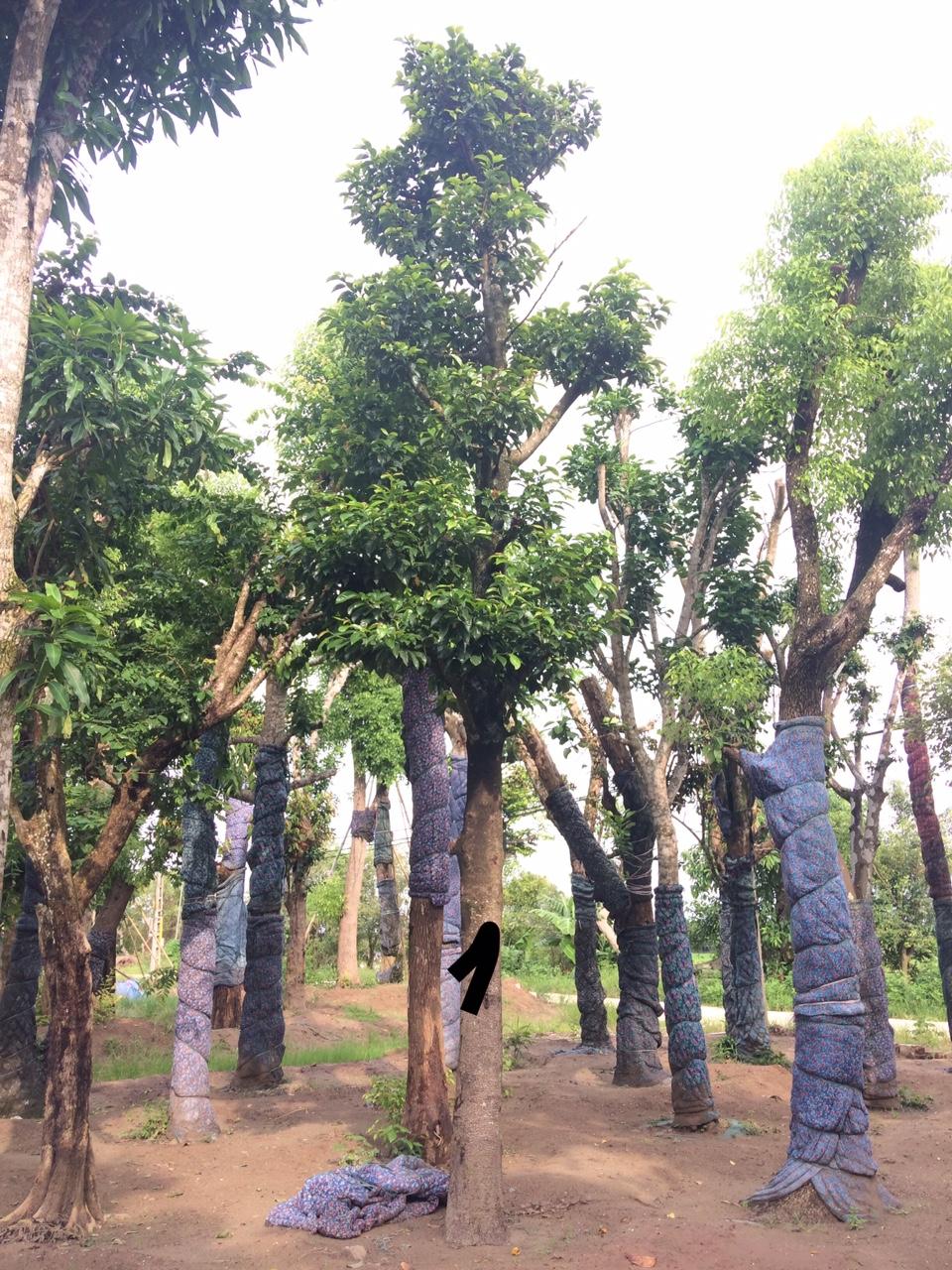 Kết quả hình ảnh cho cây chay công trình