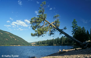 Pine tree leans over Salmon Lake in the Seeley-Swan Valley of western Montana