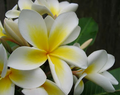 Jasmine - National Flower of Pakistan