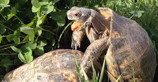 Η πρώτη χελώνα στον κόσμο που σώθηκε λόγω υπερβολικού... σeξ! (photos)