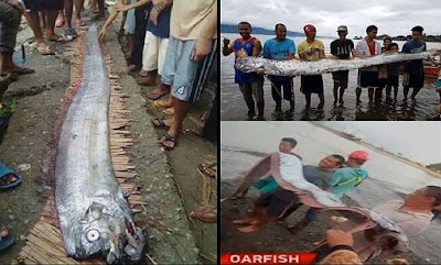 Image result for Giant oarfish (Regalecus glesne) caught in the Philippines after earthquake