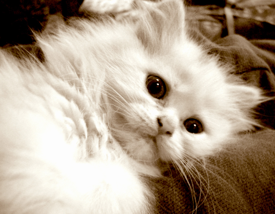 kissan kulttuurinen asema: viktoriaaninen aika