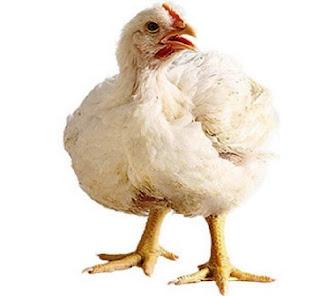 Tips Sukses Usaha Ayam Potong