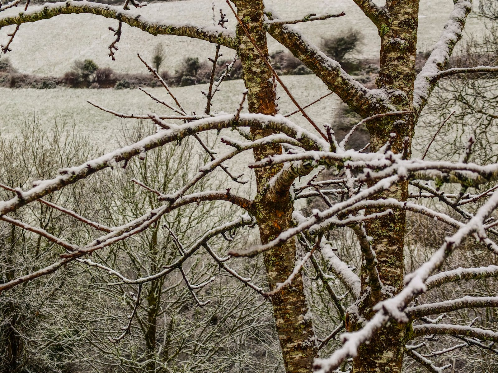 A snow covered cheery tree in a valley in North Cork.