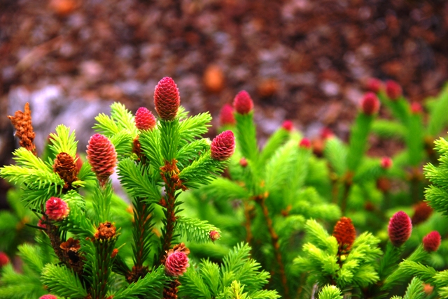 Abies picea abies leaves picea abies norway spruce leaves with male