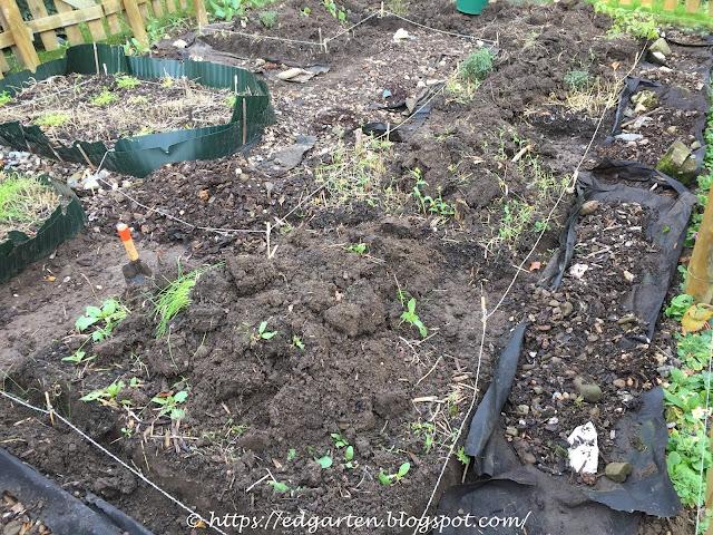 Gemüsegarten in der Umwandlung