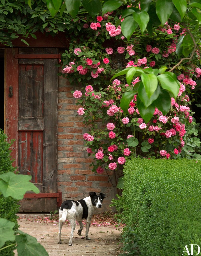 Black and white dog at rustic farmhouse door with pink roses