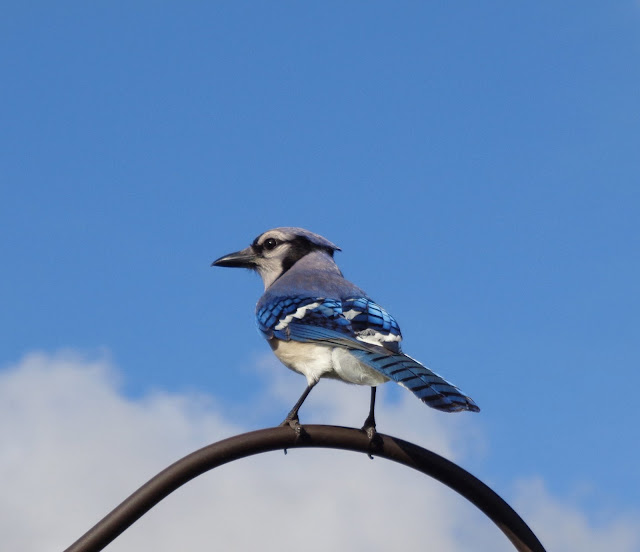 Blue jay and a blue sky
