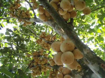 http://tipspetani.blogspot.com/2017/08/panduan-budidaya-tanaman-buah-duku-yang.html