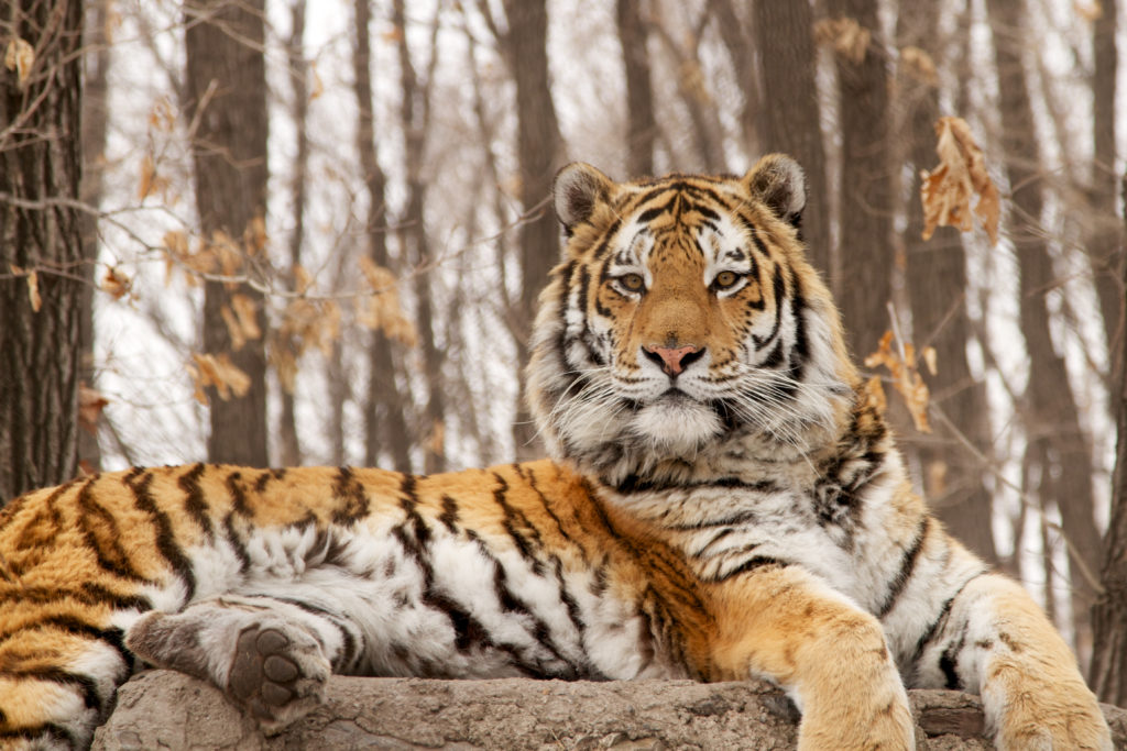 China Is Building A National Park 60% Larger Than Yellowstone To Protect Siberian Tigers