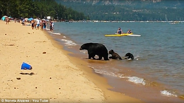 Mama Bear Takes Her 2 Cubs For A Swim In California