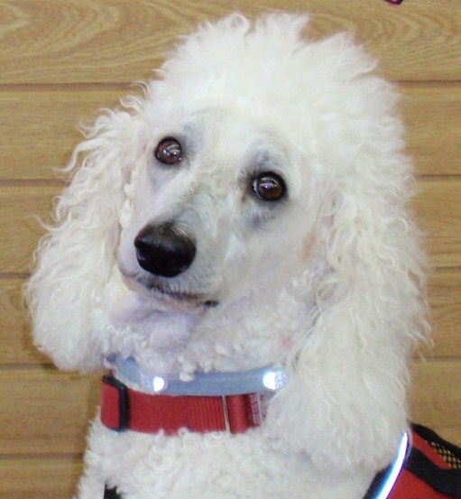 Carma Poodale standard poodle wearing red vest with #seresto collar