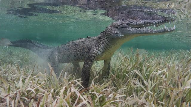 Crocodile accident in jardines de la Reina