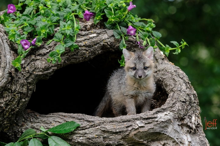 White Wolf Cute And Wild These Adorable Baby Foxes Are