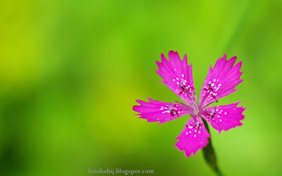 http://fotobabij.blogspot.com/2015/08/gozdzik-kropkowany-kwiat-dianthus.html