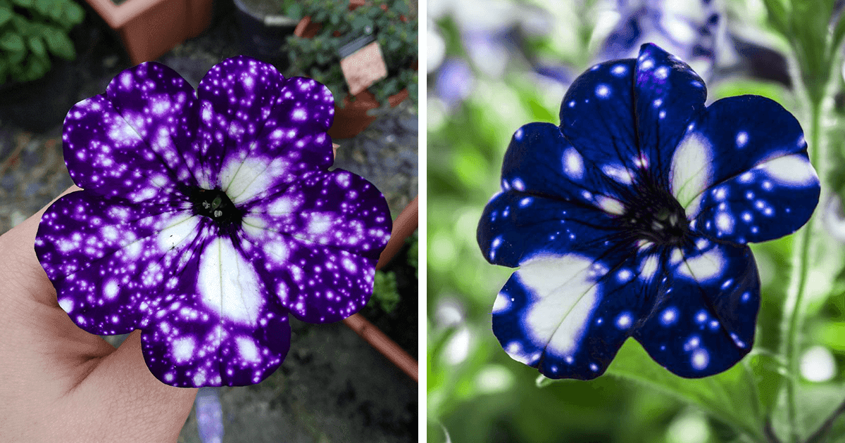 Extraordinary Flowers With Galaxy Patterns On Their Petals