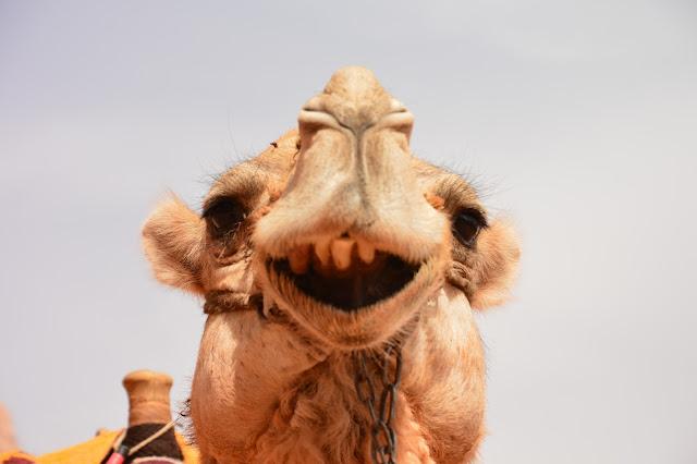 Dromadaire dans la Réserve du Wadi Rum