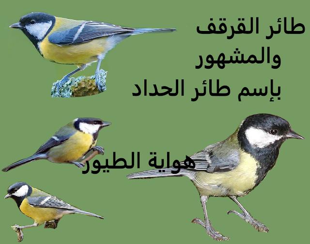 بحت حول طائر  القرقف المشهور ب طائر الحداد  Tit bird