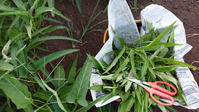 エンツァイ(空芯菜)の収穫