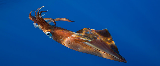 Calamar y flotabilidad