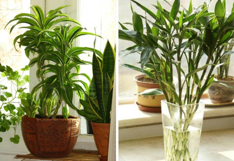 Plantas de interior bamb de la suerte guia de jardin for Bambu decoracion interior