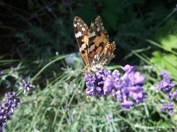 Happy Sonne: Lavendel Und Schmetterlinge