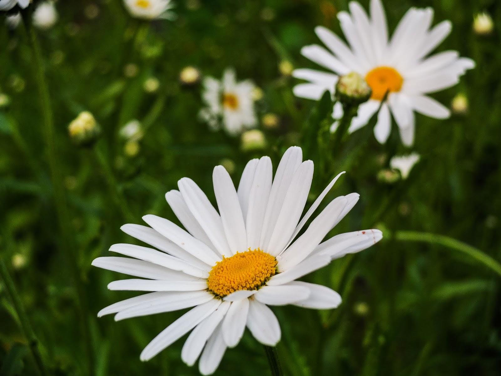 Tall, white daisy flower meadow.
