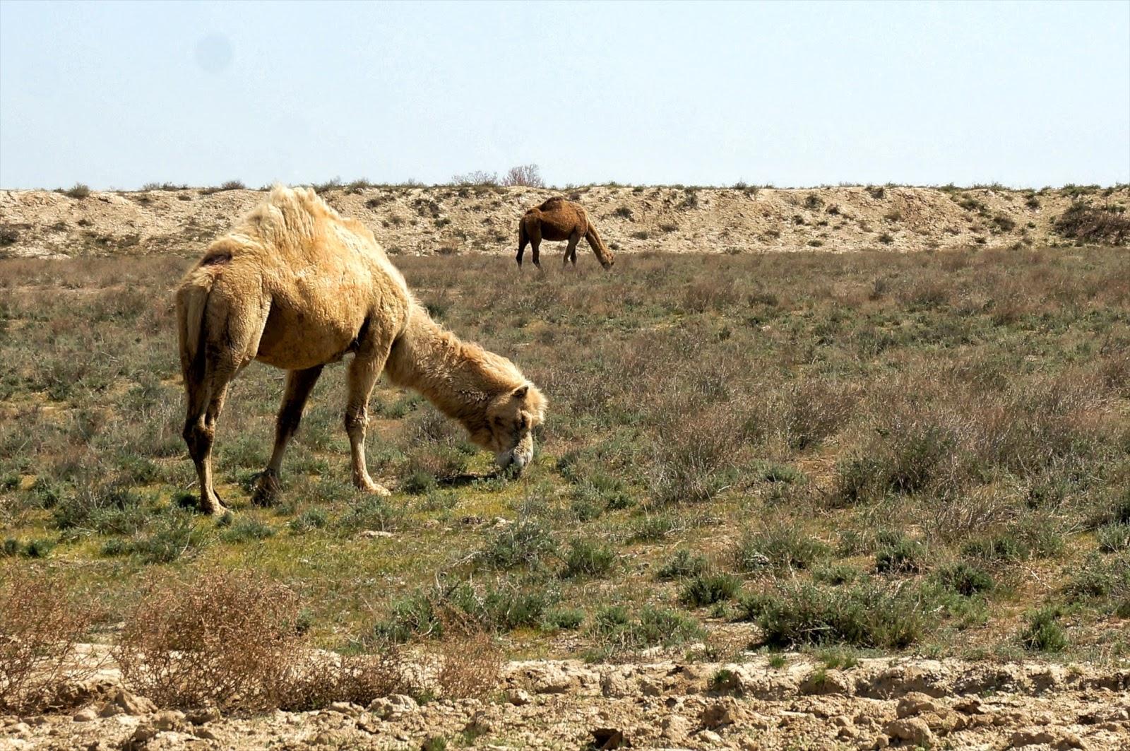 wyprawa do Kazachstanu, co zobaczyć w Kazachstanie, Kazachstan ciekawostki, zwiedzanie Kazachstanu, Kazachstan wielbłąd, step w Kazachstanie