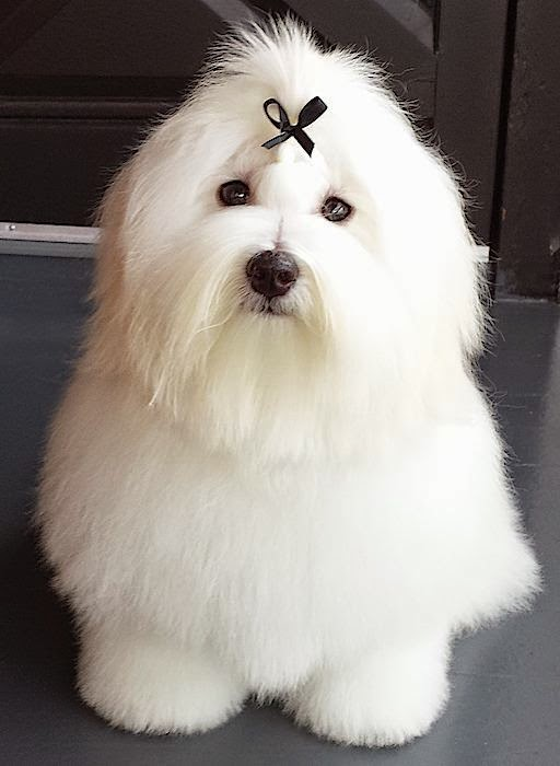 Coton de Tulear, has a habit of jumping up and walking on its hind legs to please people.