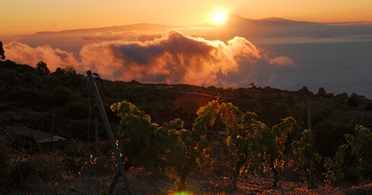51. Biodiversity among the grapevines of El Hierro