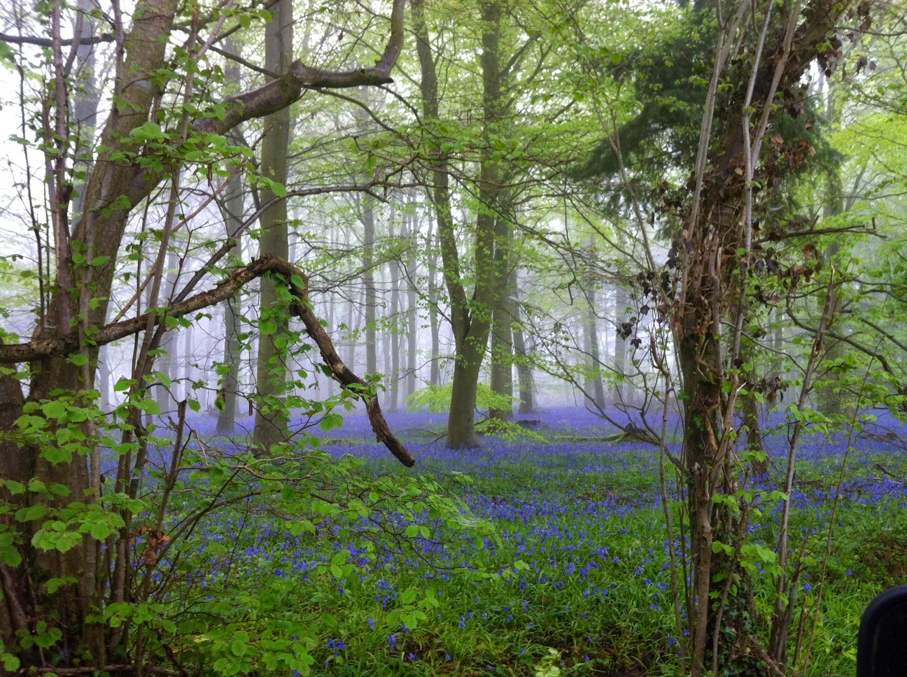 Native bluebells in the mist of an Ancient woodland