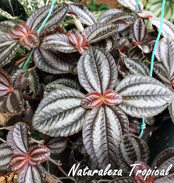 La hermosa planta de hojas brillantes, Pilea spruceana
