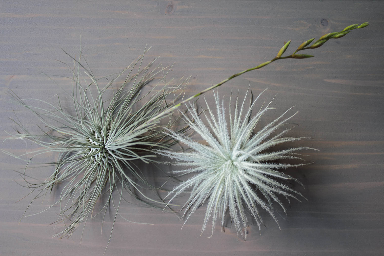 air plants Juncea e tectorum