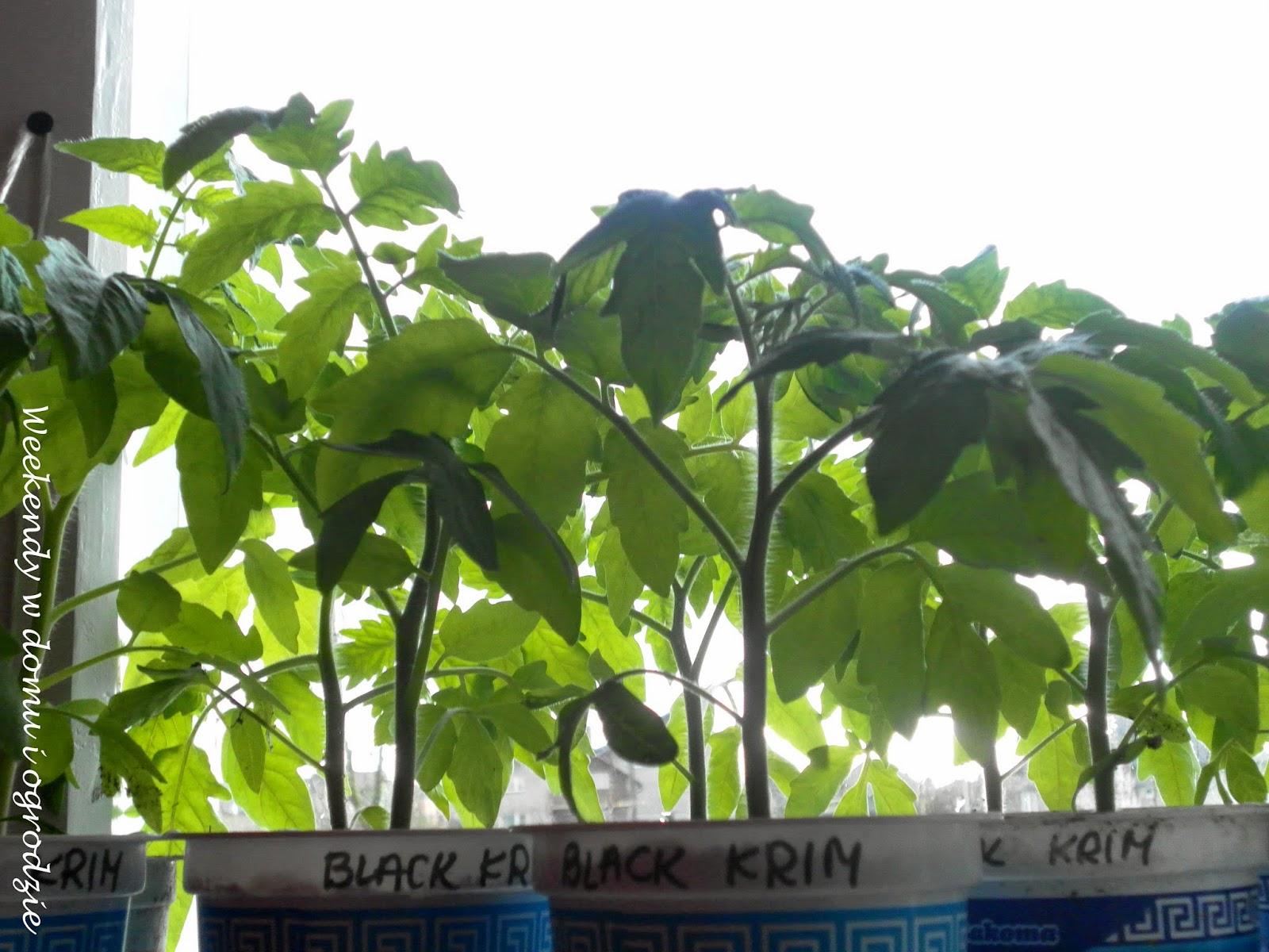 Weekendy W Domu I Ogrodzie Sadzenie I Uprawa Pomidorów