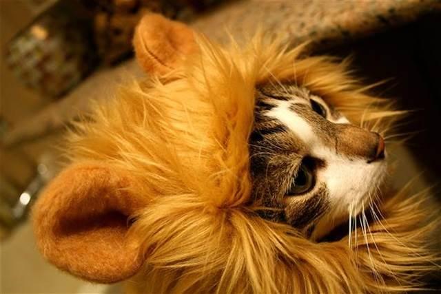 topi singa untuk kucing