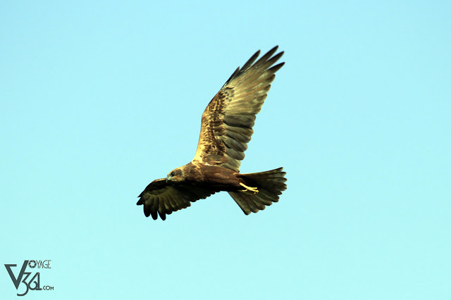 Eurasian marsh harrier
