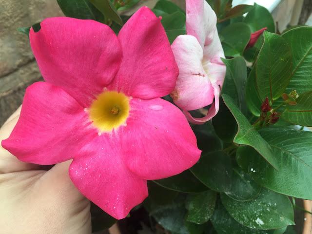 pink mandevilla in garden