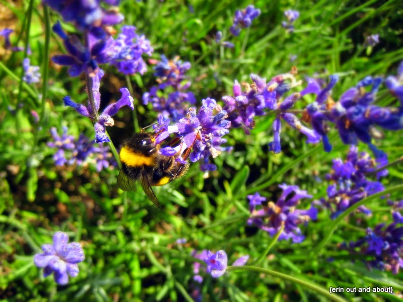 {ErinOutandAbout} Busy Bee in Lavender