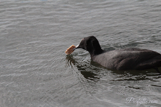 Coot giving its biscuit a thorough washing.